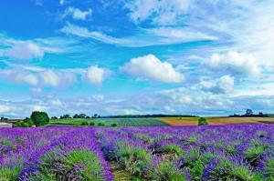 Lavender fields, Cotswold 4