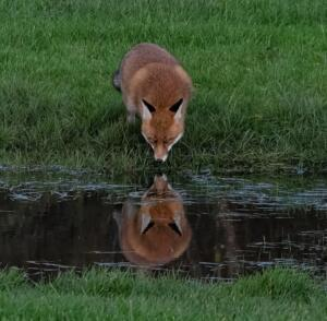 Thirsty fox