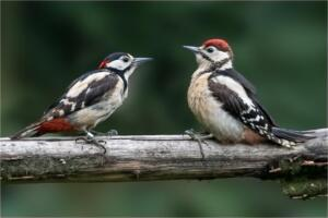 Great spotted woodpecker and youngster