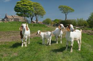Escape Goats