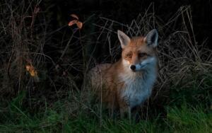 Cautious vixen
