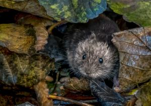 Bank vole scavenging in autumn leaves