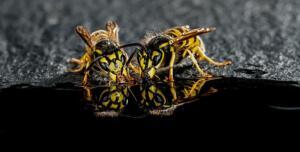 Wasps drinking