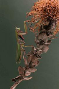 Preying Mantis on Flower