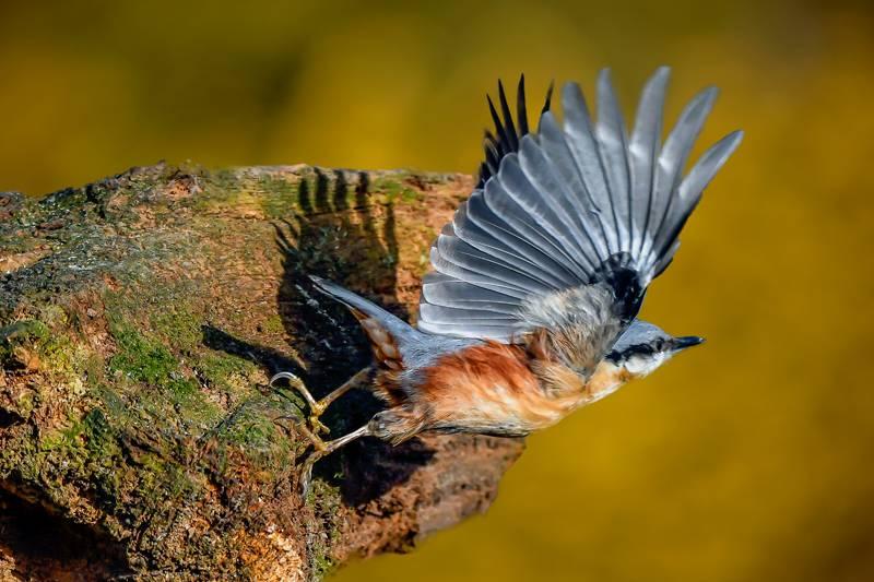 Nuthatch taking flight