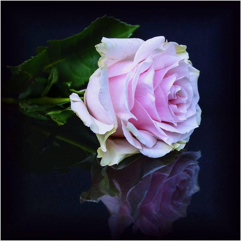 Rose reflection.