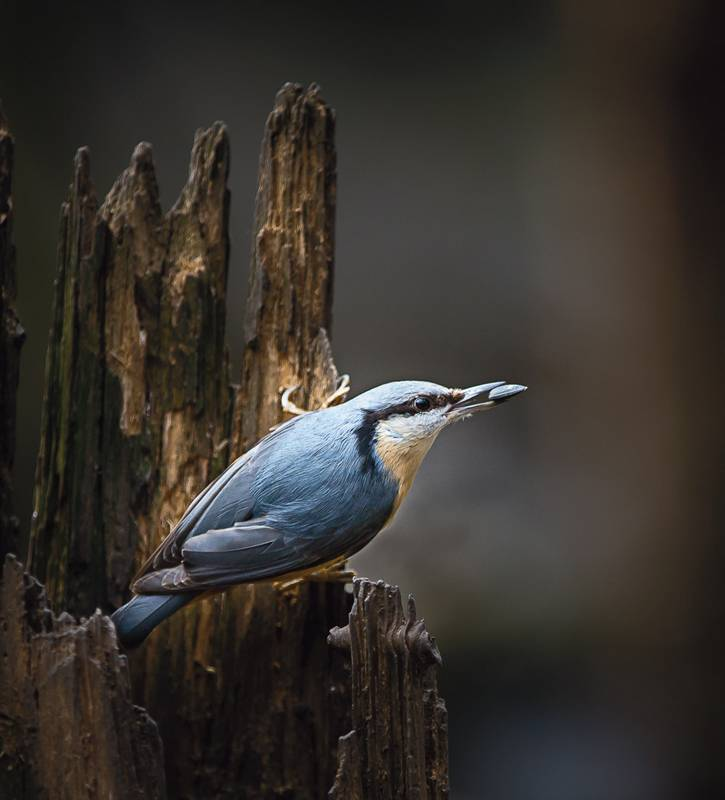 Nuthatch with seed