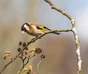 Curious Goldfinch