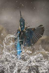 Kingfisher exiting water